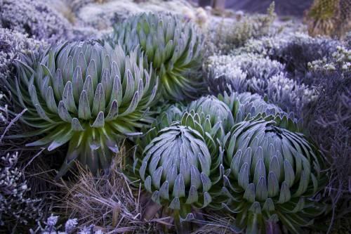Lobeliaer på Kilimanjaro, en af de karakteristiske planter for bjerget