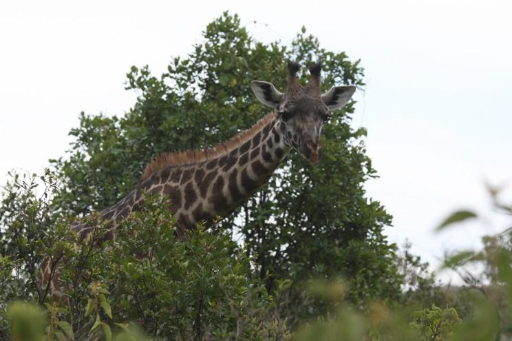 Giraffen kigger lige så meget på os, som vi på den